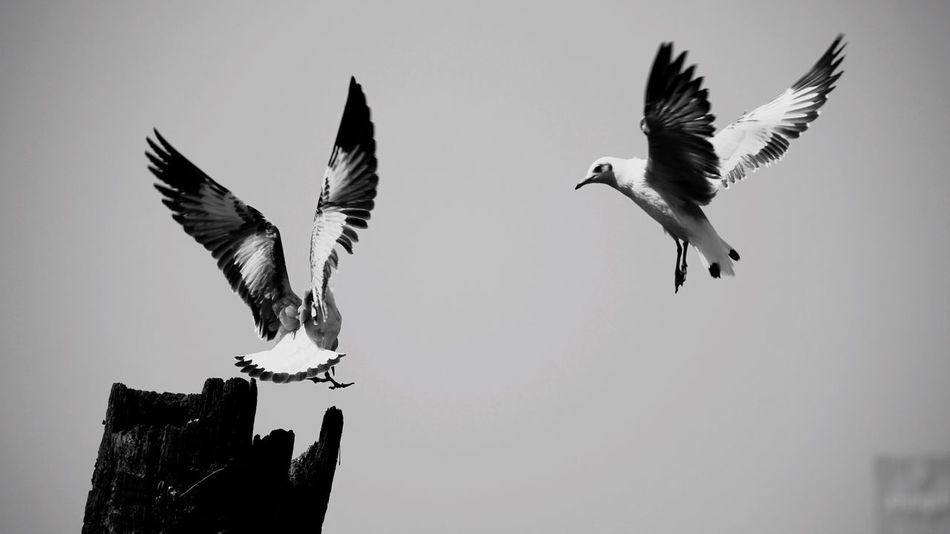 Bird Animals In The Wild Wildlife Bird Zoology Clear Sky Nature Sky Blackandwhite