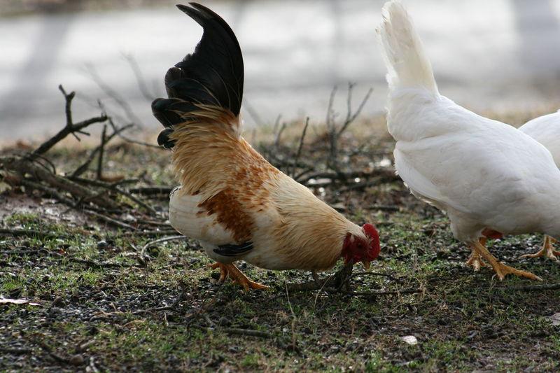 Animal Themes Animals Bird Birds Chicken Chicken - Bird Chickens Day Farm Animals Farm Life Feather  Feathers Flock Flock Of Birds Fowl Hen Hens No People Outdoors Rooster