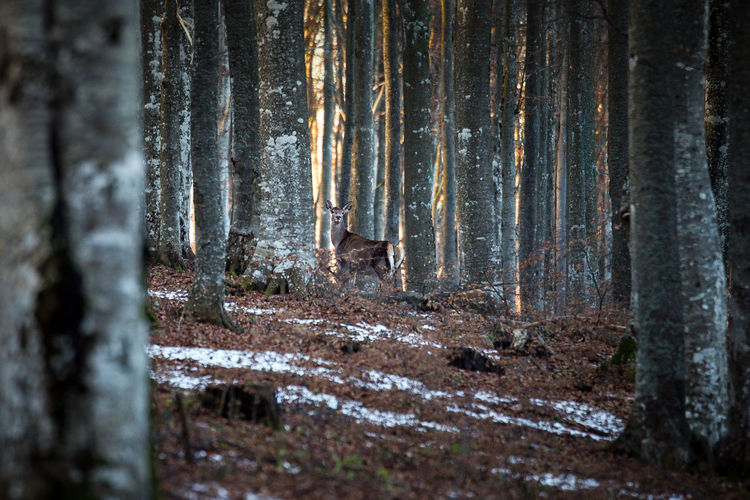 Mid distant view of deer standing amidst tree trunks on field in forest