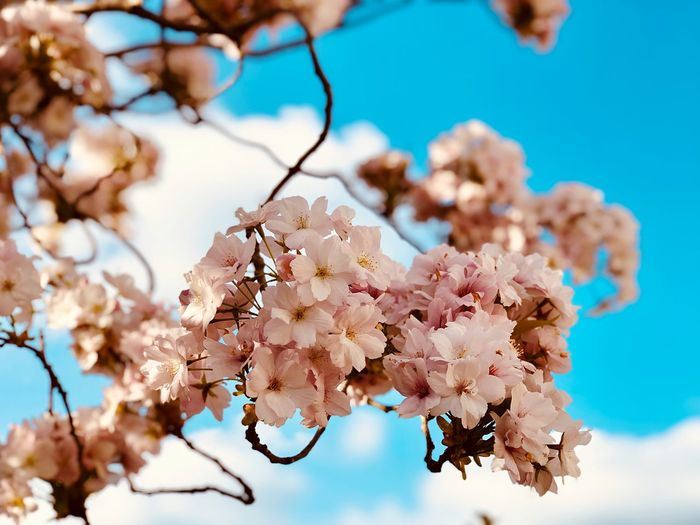 Plant Fragility Flowering Plant Flower Tree Beauty In Nature Freshness No People Cherry Blossom Low Angle View Day Vulnerability  Growth Branch Focus On Foreground Springtime Sky Close-up Blossom Nature