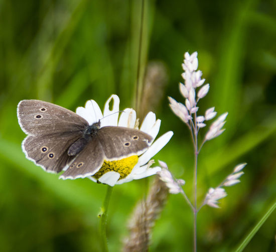 Beauty In Nature Blooming Butterfly Butterfly On Daisy Butterfly On Flower Close-up Day Flower Flower Head Focus On Foreground Fragility Grass Green Color Grey Butterfly Growth Insect Meadow Butterfly Nature No People Outdoors Petal Plant Selective Focus Stem Wildlife