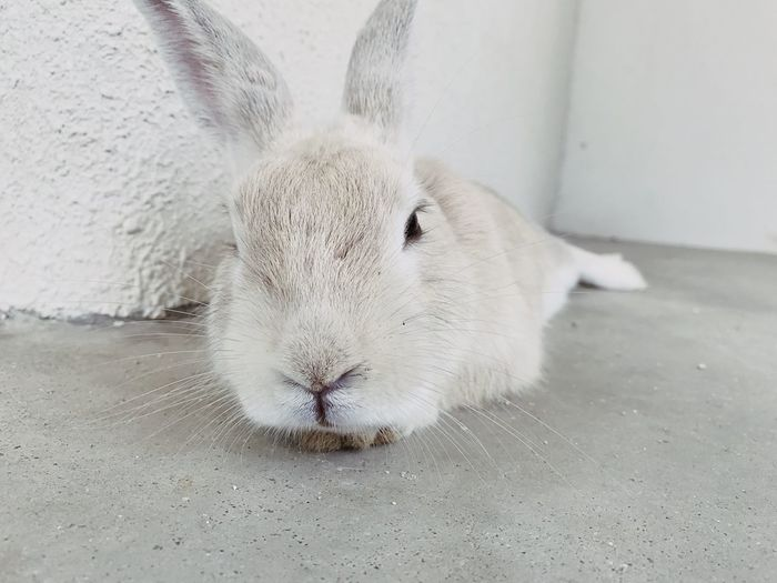 EyeEm Selects One Animal Animal Themes Mammal Looking At Camera Portrait Day No People Pets Close-up Domestic Animals Indoors  Nature Rabit