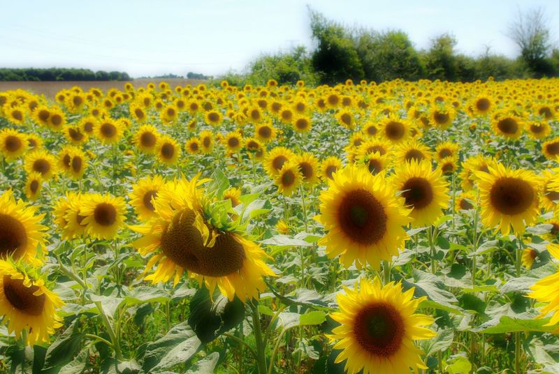 The sunfowers are here ! Sunshine Makes Everything Better Sunmer Flowers Country Living Flower Head Yellow Beauty In Nature