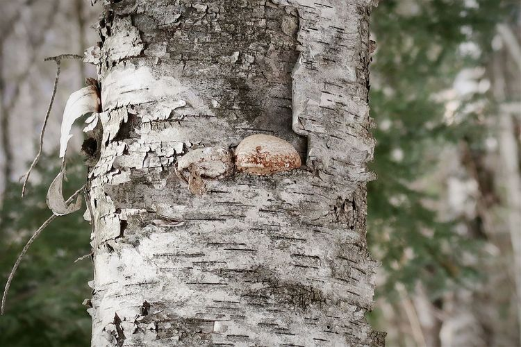 Close-up of mushroom growing on tree trunk in forest