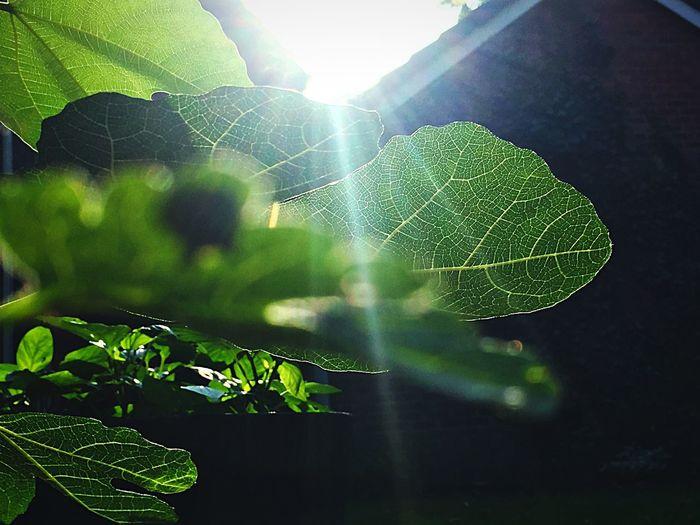 Light and leaves Leaf Sunlight Leaf Vein Sunbeam Plant Green