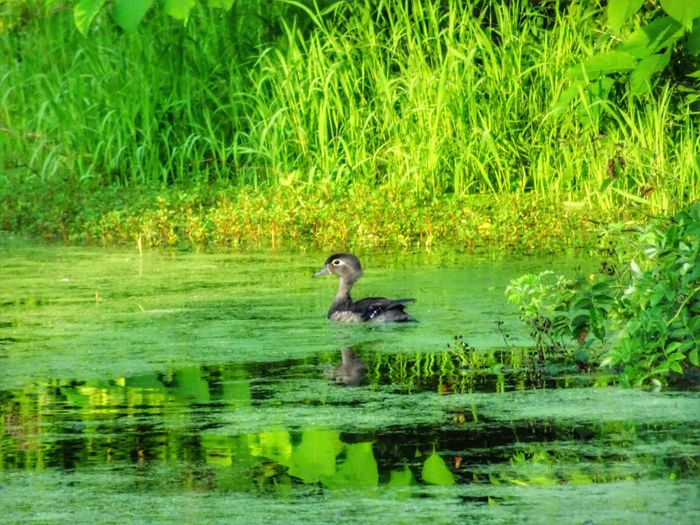 Animals In The Wild One Animal Animal Themes Water Reflection Outdoors Nature Green Color Grass Bird Lake EyeEm Gallery No People Animal Wildlife Full Length Swimming Mammal Woodduck Thisismyworld Good Morning