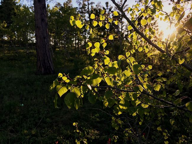 Sunlight filtering through aspen leaves in the Bear Lodge Mountains Black Hills National Forest Bear Lodge Mountains Wyoming Aspen Trees Branch Sunlight Land Yellow Green Color Outdoors Day Leaf Plant Part Tranquil Scene Tree Trunk Trunk Scenics - Nature