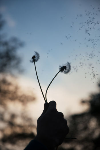 Fly Free Motivation Summertime Twilight Beauty In Nature Close-up Dandelion Flower Flowering Plant Focus On Foreground Fragility Growth Inspiration Inspirational Nature Outdoors Plant Quote Silhouette Sky Springtime Summer Sunset Vulnerability