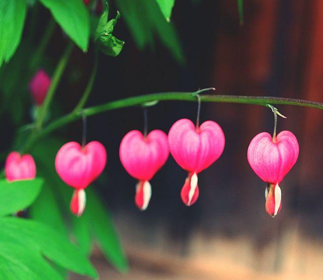 Blumen Natur Herz Pink Flowers Flowers