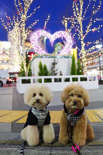 Poodle Love Pet I Love My Dog Cutedogs Toypoodle Japan DogLove My Toypoodle Cute Pets Enjoying Life