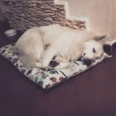 Goodnight mr.Cini... (beato te che domani non devi lavorare) Dog Whitesheperd Goodnight Truelove Nanna Sognidoro Direwolf Instadog Sleepwell Sundaynight