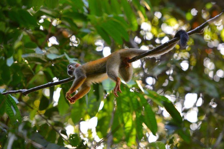 Costa Rica Centralamerica Monkey Monkeys Manuel Antonio
