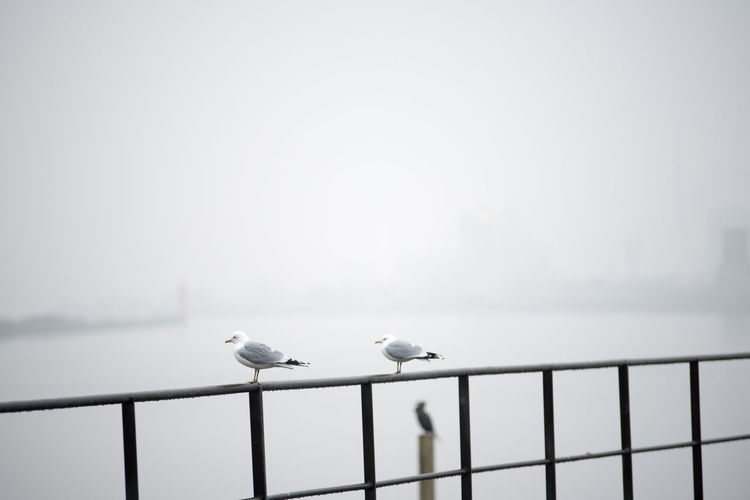 Seagull perching on railing against clear sky