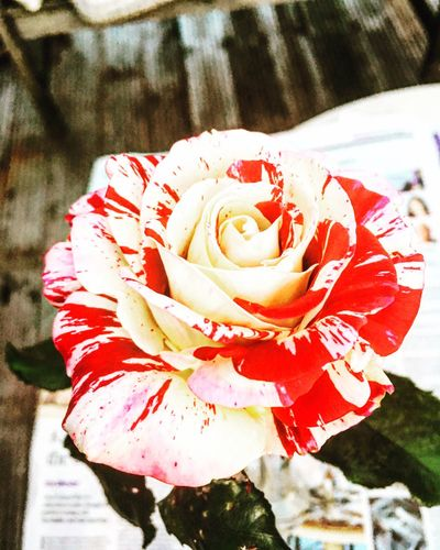 Flower Petal Flower Head Fragility Nature Rose - Flower Freshness Red Close-up Blooming Outdoors No People Growth Day
