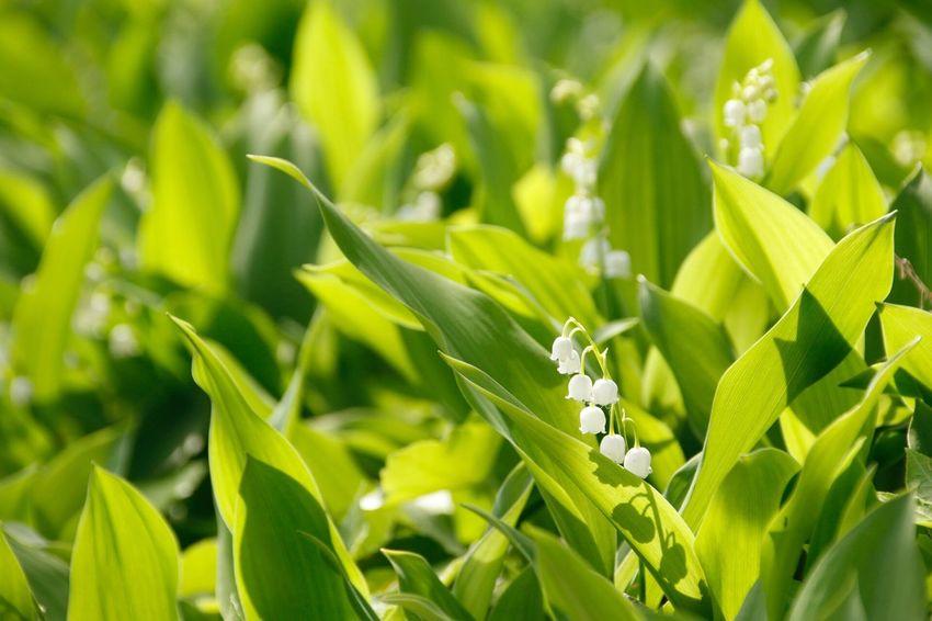 鈴蘭 Flowers Lily Of The Valley Mygarden 君影草 谷間の姫百合