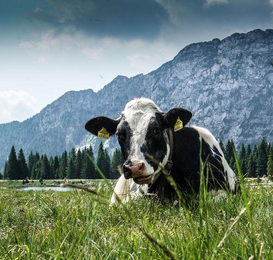 Portrait of a cow on na alpen field.