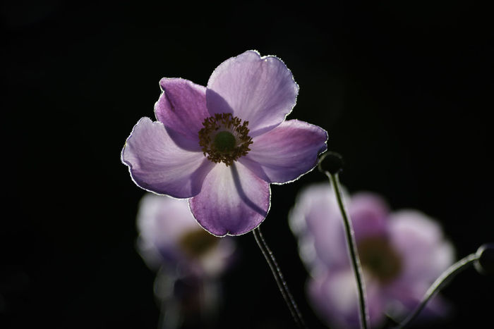 japanese anemone with backlighting by evening sun Black Background Evening Light Japanese Anemone Backlighting Bloom Blooming Delicate Depth Of Field Evening Sun Flower Pretty Violet Color