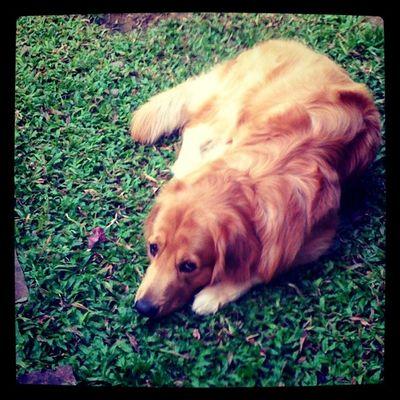 งอน Goldenretriever Hoykong Dog