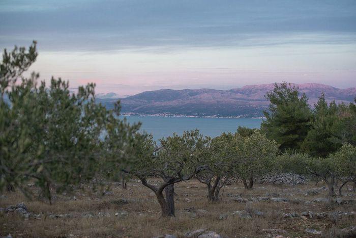 Croatia Mediterranean  Mediterranean Sea Olive Tree View Arid Climate Brac Croatiafulloflife Dalmatia Evoo Fruit Fruitful Grove Growth Mountain Olive Oil Orchard Scenics Sunset Tranquility Tree