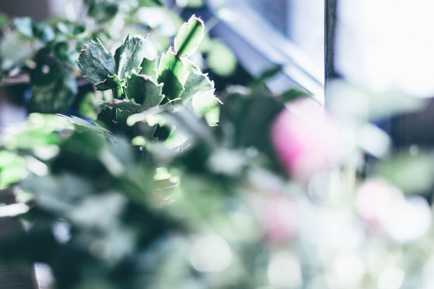 Beauty In Nature Blumenladen Cactus Cactus Collection Cactus Flower Christmas Cactus Close-up Day Flowershop Food Food And Drink Freshness Fruit Green Cactus Green Color Growth Kakteen Kaktus Nature No People Outdoors Tree Weihnachtskaktee Weihnachtskaktus