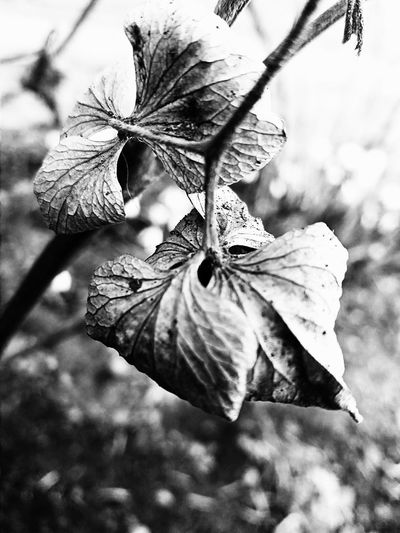 Blackandwhite Grey Nature Leaves🌿 Outdoors NoHope Close-up B&w Springtime Beauty In Nature No People Day