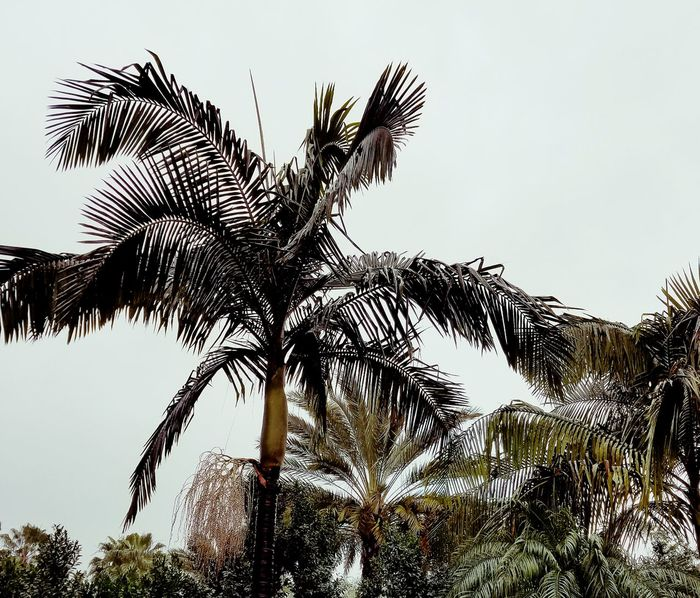 Palm Trees Contrast Wet Natures Colors Pattern Design Meditation Lines And Design Fine Art Photography Raining EyeEm Best Shots Street Photography Tranquility Still Life Natural Beauty Copy Space This Week On Eyeem EyeEm Nature Lover No People Nature Rainy Day Walk Silhouette Nature Day Outdoors The City Light