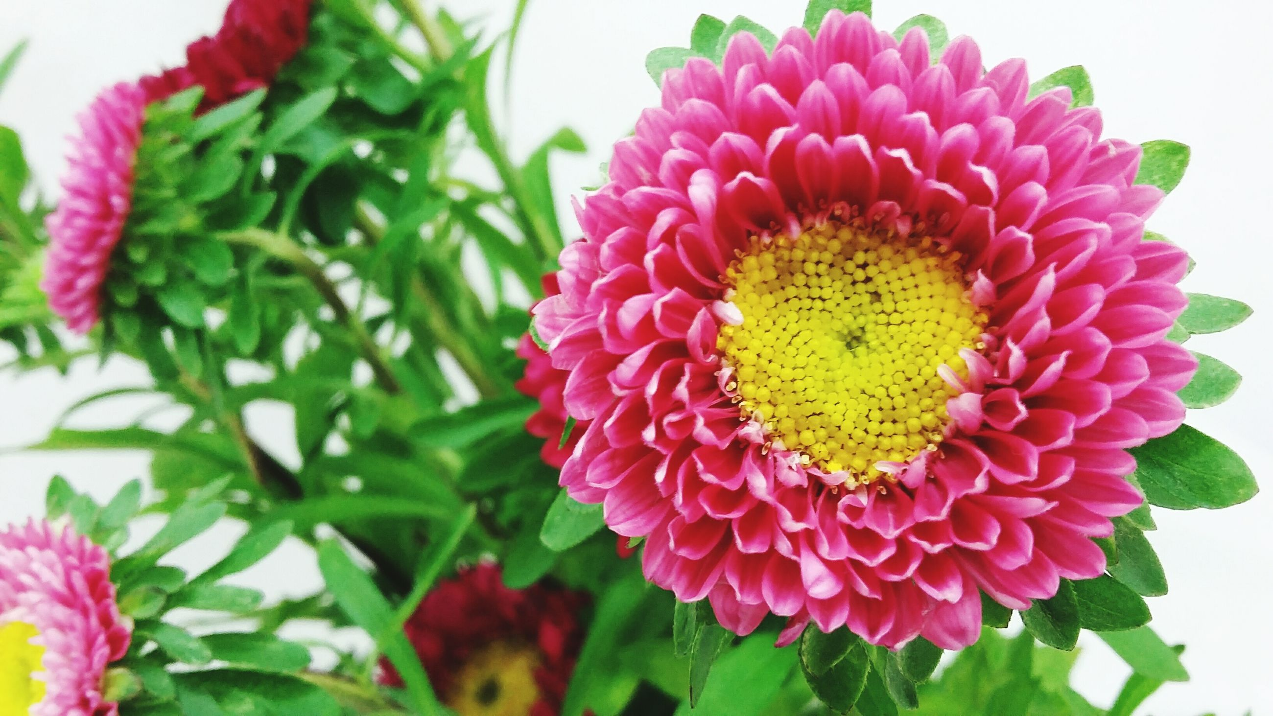 flower, freshness, petal, fragility, flower head, growth, beauty in nature, close-up, plant, blooming, pink color, nature, leaf, pollen, focus on foreground, red, in bloom, no people, day, indoors