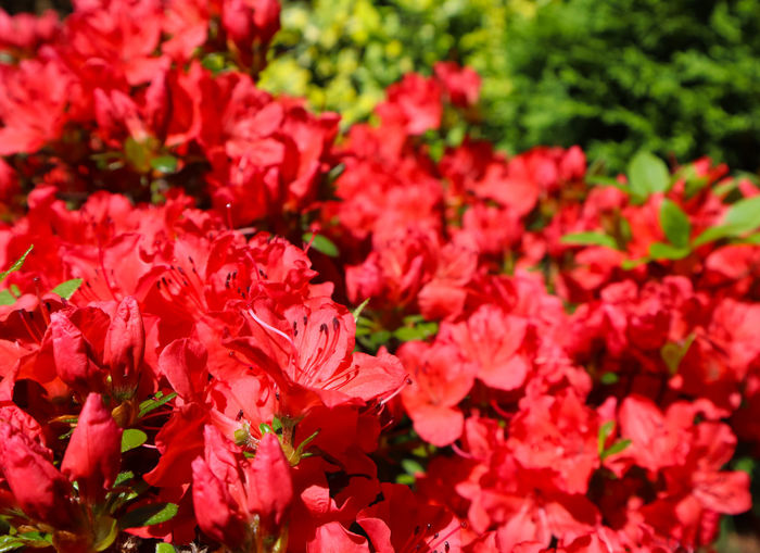 Azalea Background Beautiful Beauty Bloom Blooming Bloomy Blossom Botany Bright Bud Buds Closeup Color Concept Environment Evergreen Flora Floral Flower Fresh Garden Gardener Gardening Green Grow Growing Growth Holiday Holidays Leaf Leaves Macro Natural Nature Opening Outdoor Park Petal Petals Pink Plant Pollinating Red Season  Seasonal Spring Springtime Summer Sunny