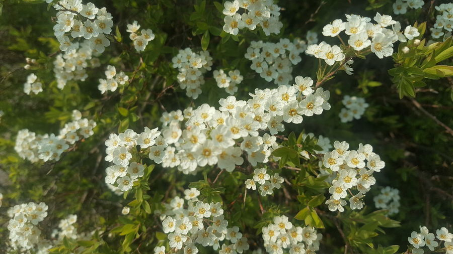 Flower Flower Head Tree Blossom White Color Botany Close-up Plant Green Color
