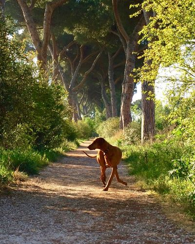 dog dance Animal Themes Animals Dog Dog Love Doglover Dogs Of EyeEm Dogslife Domestic Animals Hungarian Vizsla In The Park The Great Outdoors - 2016 EyeEm Awards Magyar Vizsla Nana's Life Nature Pets Rome Showcase April The Way Forward The Way I'm Seeing It...... Vizsla Vizsla Life Walking The Dog My Commute Capturing Motion Moving Around Rome