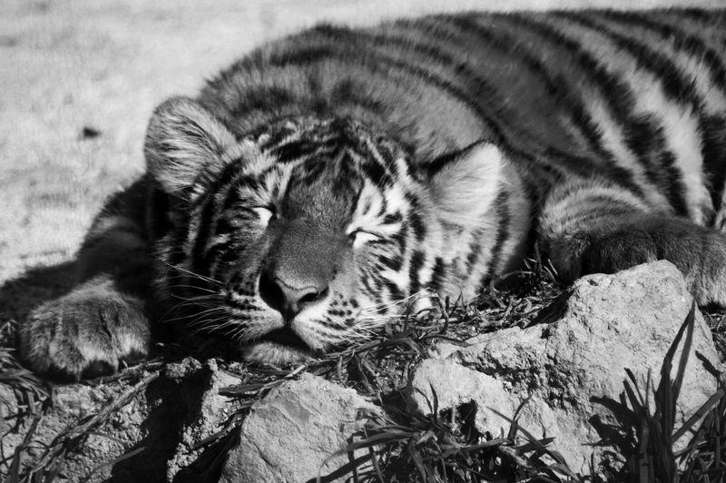Close-Up Of Tiger Cub Sleeping On Rock At Marwell Wildlife