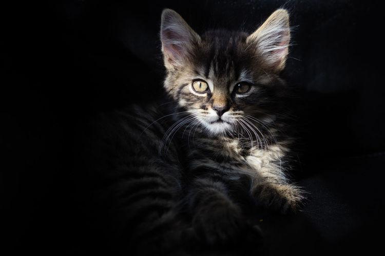 Close-up portrait of cat sitting against black background