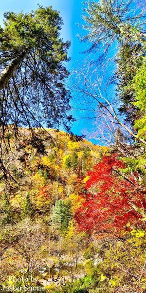 望天鹅 Autumn Tree Nature Leaf Change Beauty In Nature Tranquility Tranquil Scene Day Scenics Outdoors Low Angle View Branch No People Forest Growth Sky Travel Destinations Mountain