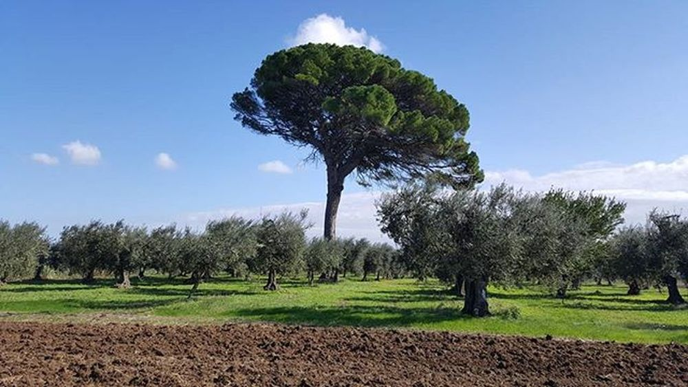 The big peaceful pine with olivevtrees all around..so relaxing..so amazing...thank you, mothet nature!🙏😍Countryside Campagnapugliese Campagnafoggiana Olivetrees Pinetree Italy Puglia Provinciadifoggia Volgofoggia Volgopuglia Thisispuglia Weareinpuglia Loves_puglia Love_puglia Verso_sud Verso_sud_natura Vivopuglia Visitpuglia Ilovepuglia Loves_united_puglia Bestpugliapics Beautifulpuglia Top_pugliaphoto Igerspuglia Igersfoggia igersitalia igpuglia igitalia pugliagram igfoggia