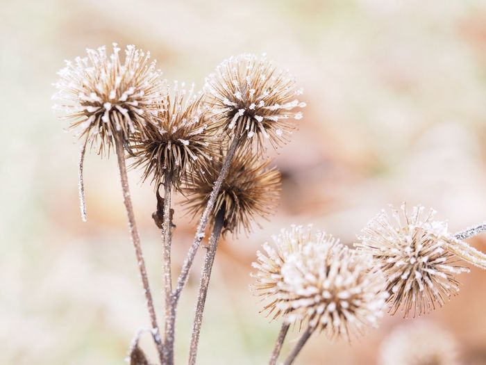 Pflanze Kälte Winter Frozen Nature Flower Focus On Foreground Fragility Plant Flower Head No People Beauty In Nature Outdoors Freshness