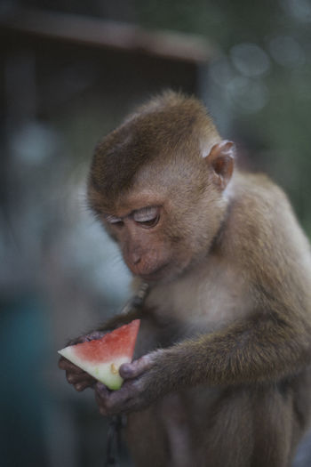 Close-up of monkey eating watermelon