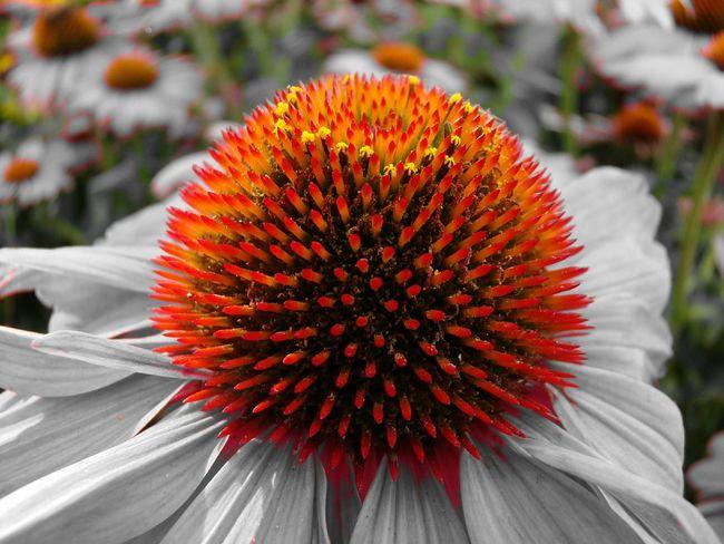 Colorsplash Macro Flowers Flowerlovers Macro_flower Taking Photos 🌷 Flowers 🌹 Yorange Taking Pictures EyeEm Macro