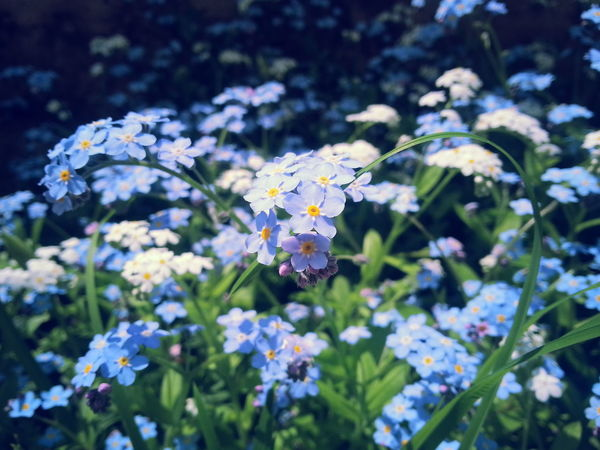 Flowers Naturelovers Nature_collection Forget Me Not