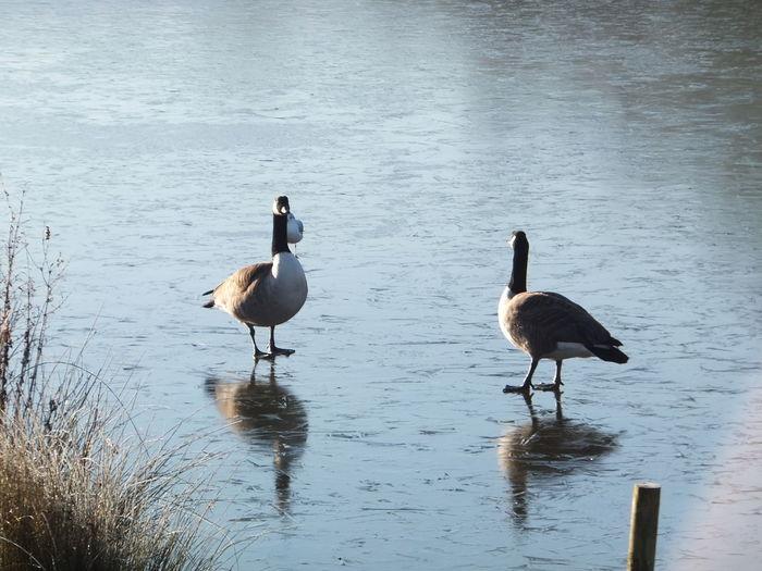 Bird England Frozen Geese Lake Nature Swindon Winter