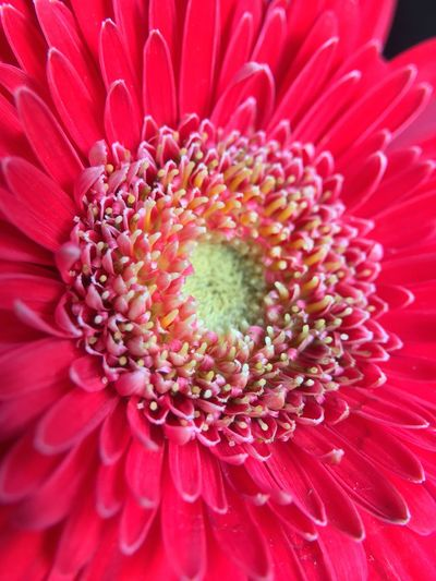 Flower Fragility Petal Beauty In Nature Freshness Flower Head Nature Pollen Close-up Blooming Backgrounds Growth Full Frame Day No People Outdoors Gerbera Daisy
