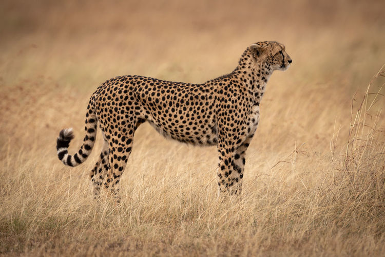Cheetah standing in profile in long grass Africa Kenya Masai Mara Kicheche Savannah Savanna Grassland Grass Acinonyx Jubatus Cheetah Cat Big Cat Predator Carnivore Nature Travel Safari Animal Themes Animals In The Wild Animal Animal Wildlife Feline One Animal Spotted Mammal No People Side View Animals Hunting Hunting Vertebrate Survival Undomesticated Cat Profile View