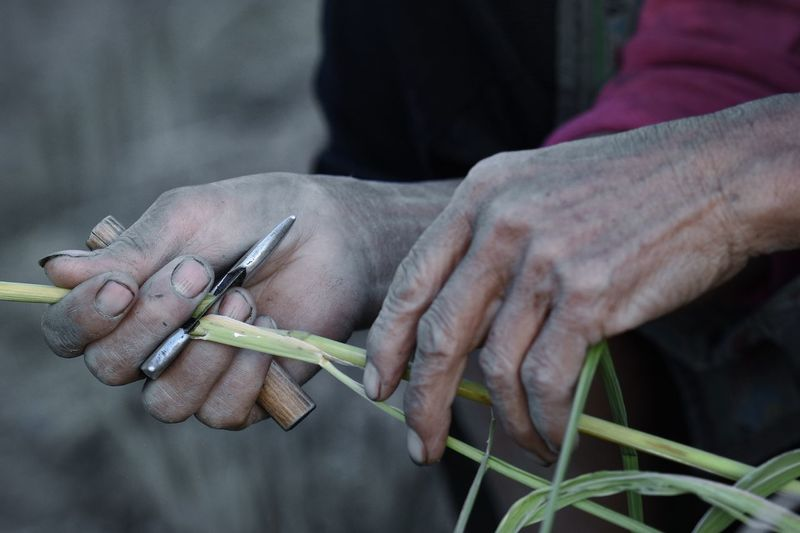 Close-Up Of Man Cutting Crops