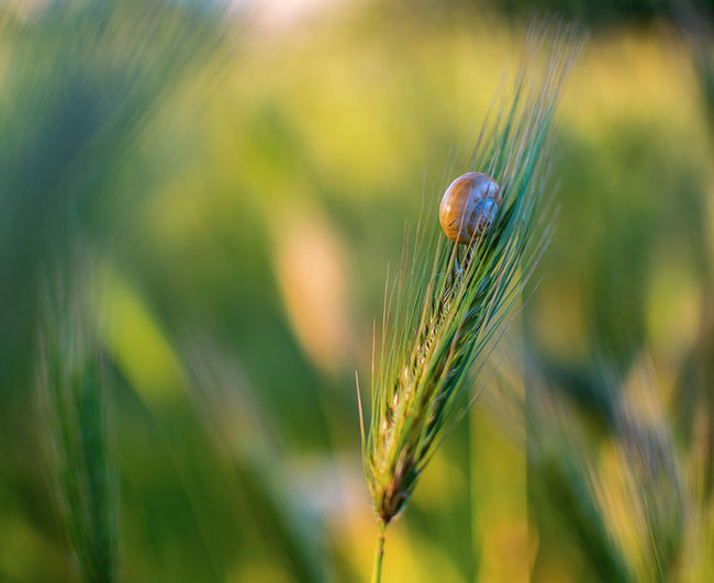 Agriculture Animal Animal Themes Animal Wildlife Beauty In Nature Cereal Plant Close-up Crop  Day Field Focus On Foreground Green Color Growth Land Nature No People Outdoors Plant Selective Focus Wheat
