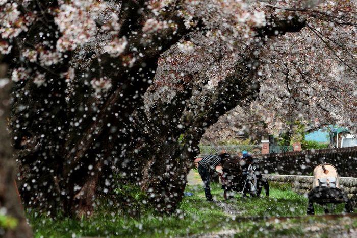 Flurry of falling cherry blossms. Sakura2015 桜吹雪 Flowerporn Petal Cherry Blossoms Roadside Tree EyeEm Best Shots - Flowers EyeEm Nature Lover