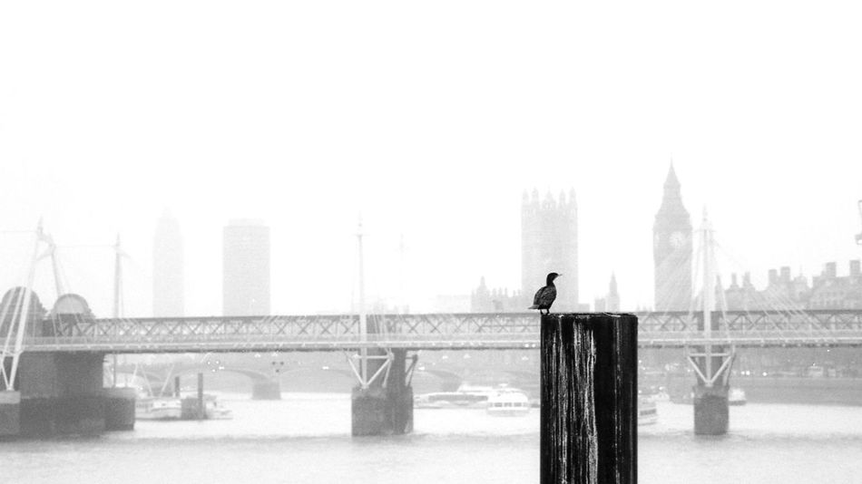 Film Photography Film Hp5+ HP5 Plus 400 London Bird Cormorant  Westminster Big Ben Bridge Thames Rain Parliament England Uk Great Britain Misty