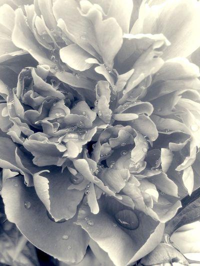 So tender... EyeEm Nature Lover EyeEm Best Shots EyeEm Best Edits Spring Flowers Flowers,Plants & Garden In Between The Flowers~entre Las Flores The Flowers Series Garden Peonies