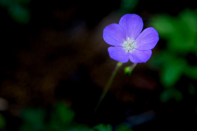 Petalos Symplicity Beauty In Nature Botany Close-up Flower Flower Head Flowering Plant Focus On Foreground Fragility Freshness Growth Inflorescence Nature No People Outdoors Perfect Petal Plant Purple Selective Focus Violet Vulnerability  Wildbeauty Wildlife