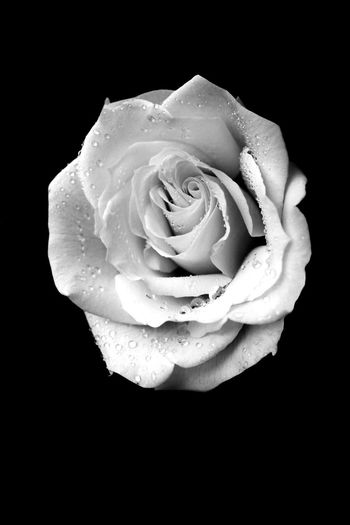 Monochrome Photography Flower Freshness Flower Head Fragility Rose - Flower Single Flower Beauty In Nature Close-up Nature Black Background Growth Water Bloom Studio Shot Single Rose Springtime In Bloom Blossom Blooming EyeEm Masterclass Black And White Rose Water Droplets On Flower Fine Art Photography Dark Photography Black And White Friday Visual Creativity
