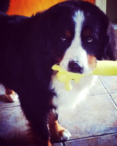 Bernese Mountain Dog Swiss Mountain Dog Best Dog Ever Do You Wanna Play ... ? Cute Pets Pets Corner Dogs I Love My Dog IPhoneography Popular