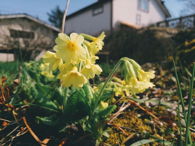 Primula Elatior Oxlip True Oxlip Taking Photos Check This Out Hello World VSCO Mobilephotography Plants And Flowers Flower Collection Botany HuaweiP9 Huawei Nature_collection Yard Flower Natures Diversities